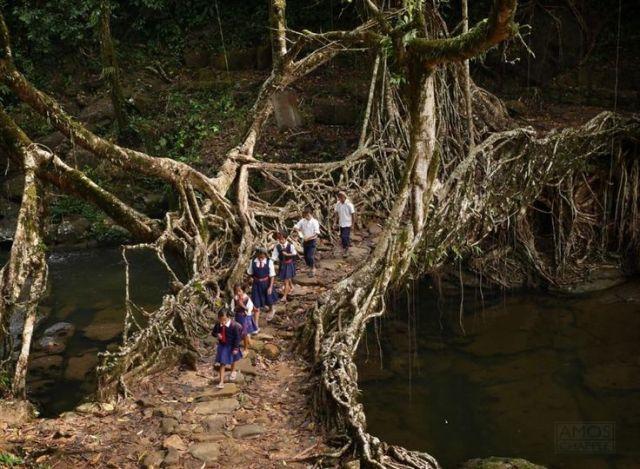 Living Root Bridge in Meghalaya, India.