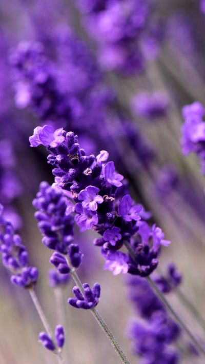 Lavender Flowers. Awesome Collection of Flower iPhone Wallpapers. Tap to see! - @mobile9 # ...