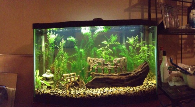 My 29 gallon tropical planted aquarium. | Aquarium | Pinterest