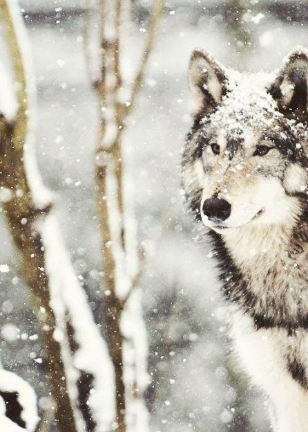 Loup: