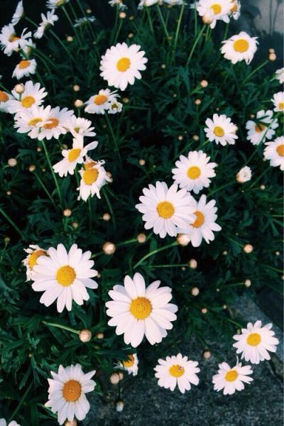 pretty daisy wallpaper | Wallpapers | Pinterest | Daisies, Daisy wallpaper and Wallpapers