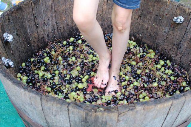 #GrapeStomping #grapes #PIWC #winemaking http://www.piwine.com/: