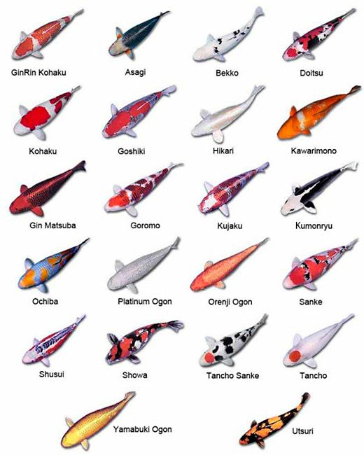 Many fish name with pictures sea fish names with for Types of koi
