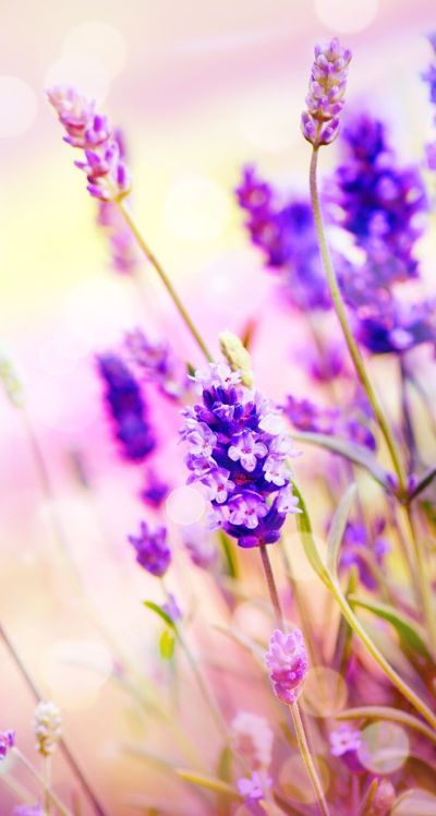 Lilac flower lavender wallpaper | Wallpaper ideas- iPhone | Pinterest | Lavender, Lilac flowers ...