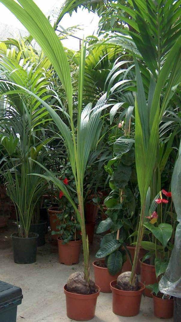 Decorare la casa con le palme guida giardino for Piante grandi da giardino