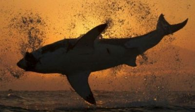 Best 25+ Largest Great White Shark ideas on Pinterest | Great white shark teeth, Great white ...