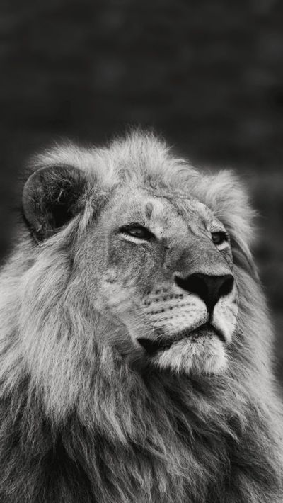 Lion Black And White Iphone Wallpaper