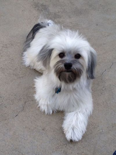 25+ best ideas about Havanese grooming on Pinterest   Havanese puppies, Cockapoo puppies and The ...
