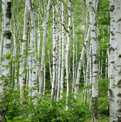25+ best ideas about Birch tree wallpaper on Pinterest | Tree wallpaper, Forest wallpaper and ...
