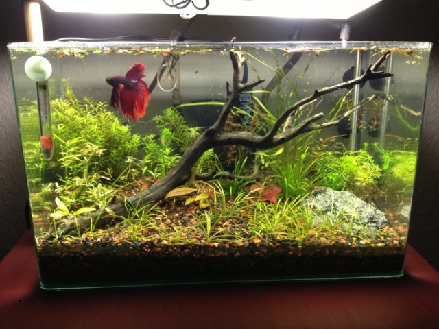 Betta Tank: Betta Bowls, Aquarium Dreams, Gallon Betta, Aquascape Fish