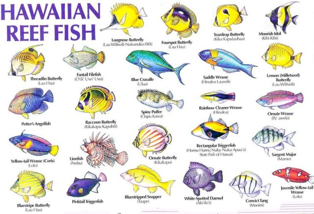 Colorful Fish Names   Visual Guide to Hawaii's Reef Fish: Fish Guide