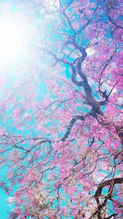 Sakura Flowers Wallpaper iPhone 6 HD   Nature Wallpapers for iPhone   Pinterest   More best ...