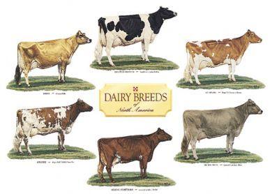 Dairy cattle breeds