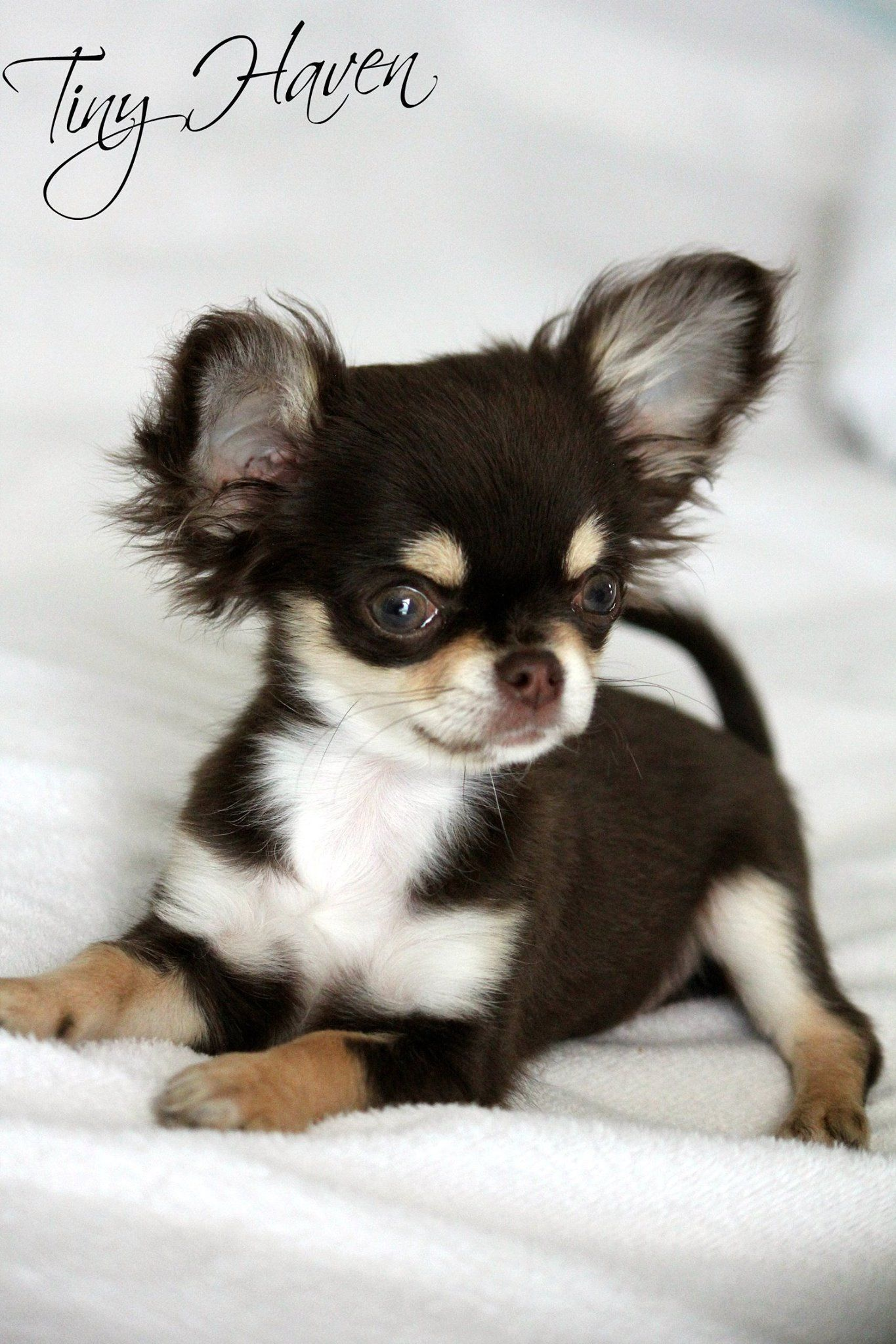 Cheery Dogs Treatment Hydrocephalus Dogs Symptoms Chihuahua Puppy Looks Like A Frisky Who Will Make A Chihuahua Puppy Looks Like A Frisky Who Will Make A Hydrocephalus bark post Hydrocephalus In Dogs