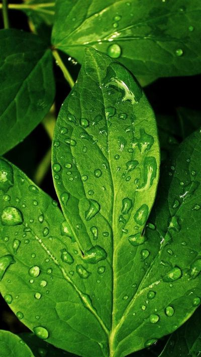 Close-ups iPhone 6 Plus Wallpapers - Morning Dew Green Leaf iPhone 6 Plus HD Wallpaper | iPhone ...