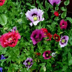 Amazon Com Best Garden Seeds Rare Mixed Beautiful Colorful Poppy
