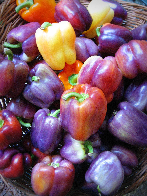 Superb Heirloom Bell Save Seeds From Yourheirloom Heirloom Bell Save Seeds From Purple Bell Pepper Bonnie Purple Bell Pepper Plant houzz-03 Purple Bell Pepper