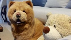Small Of Baby Chow Chow