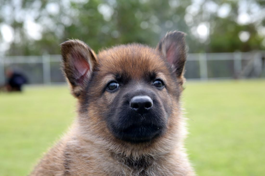 Incredible D Meaning German Shepherd Names Starting Queensland Police You Look Like A Queensland Police Have Some Very Good Pups That Need Names German Shepherd Names Male bark post German Shepherd Names