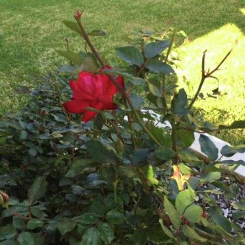 Medium Of Pruning Knockout Roses
