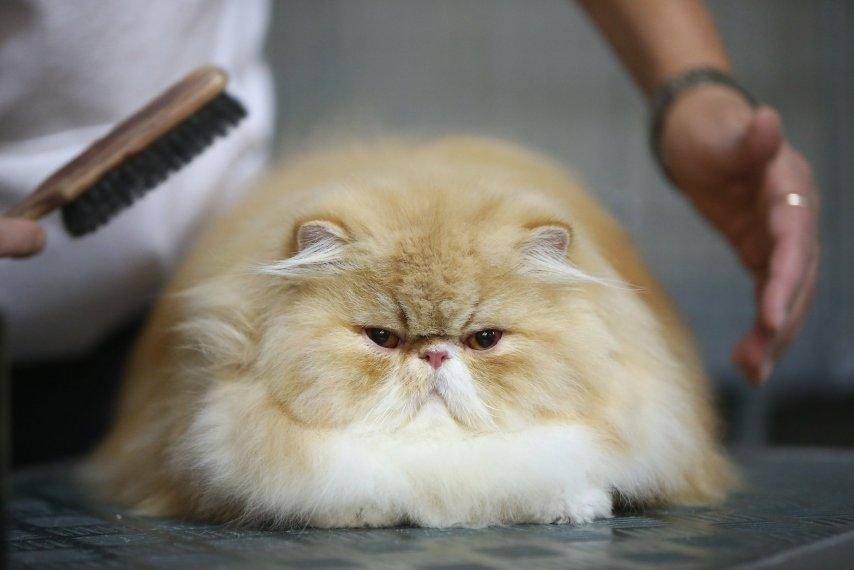 Saudi Arabia cat ban
