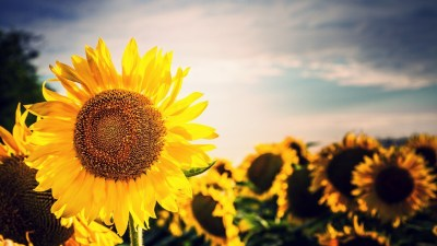 Sunflower Wallpapers | Best Wallpapers