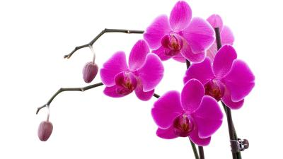 Orchids Wallpapers | Best Wallpapers