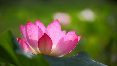 Lotus Wallpapers | Best Wallpapers