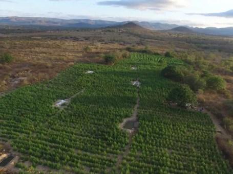 Plantio de maconha com sistema de irrigação foi erradicado pela Polícia Federal em Pedra (Foto: Divulgação/Polícia Federal)