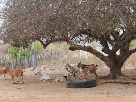 Moradores dizem que animais estão morrendo por falta de água (Foto: Taisa Alencar / G1)