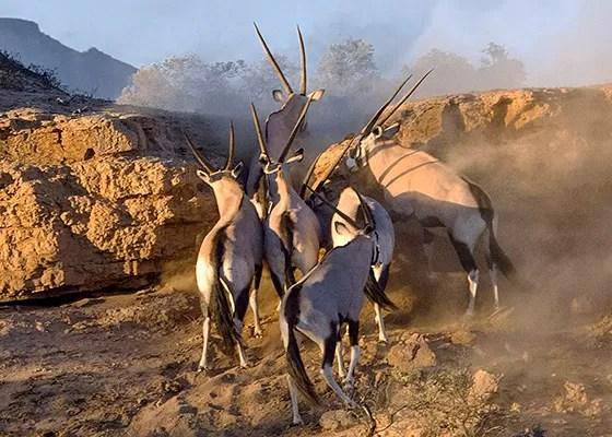 Um grupo de órix cruza o leito seco do rio Huab (Foto: © Haroldo Castro/Época)