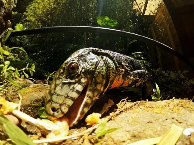 Fotógrafo também tem imagens de lagartos em Peruíbe, SP (Foto: Guilherme Eleuterio / Arquivo Pessoal)