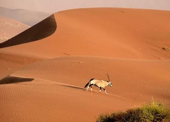 Um órix atravessa as dunas avermelhadas (Foto: © Haroldo Castro/Época)