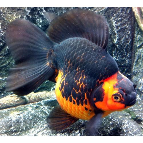 Medium Crop Of How Long Do Goldfish Live