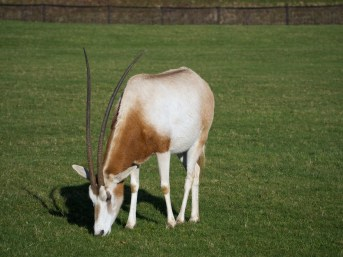 Oryx @ Whipsnade