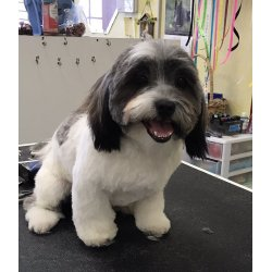 Magnificent Cutie Paws Grooming United Havanese A Havanese Photo A Puppy Cut Yelp Havanese Puppy Cut Images Havanese Puppy bark post Havanese Puppy Cut