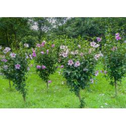 Small Crop Of Rose Of Sharon Hedge