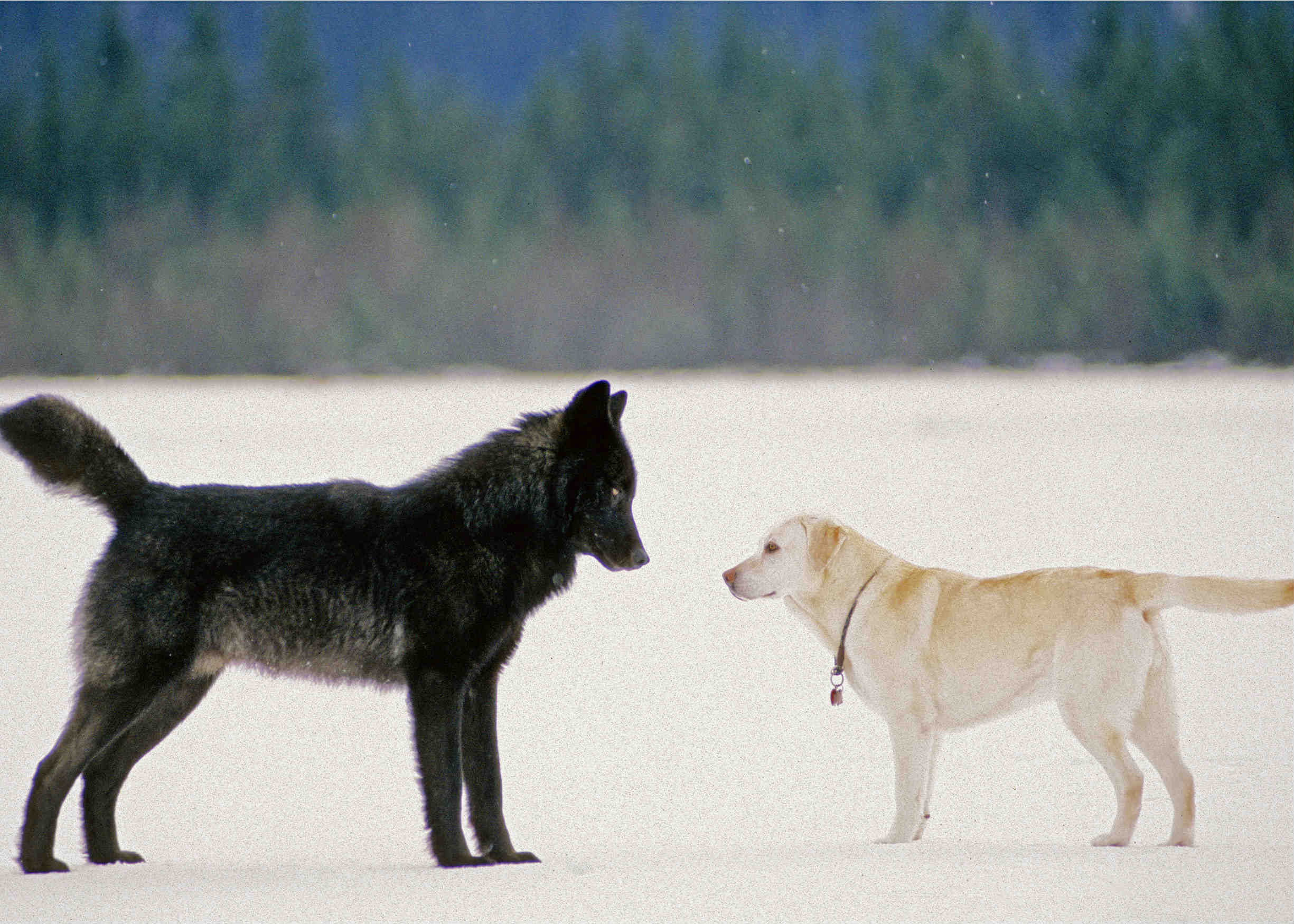 Fullsize Of Wolf Vs Dog