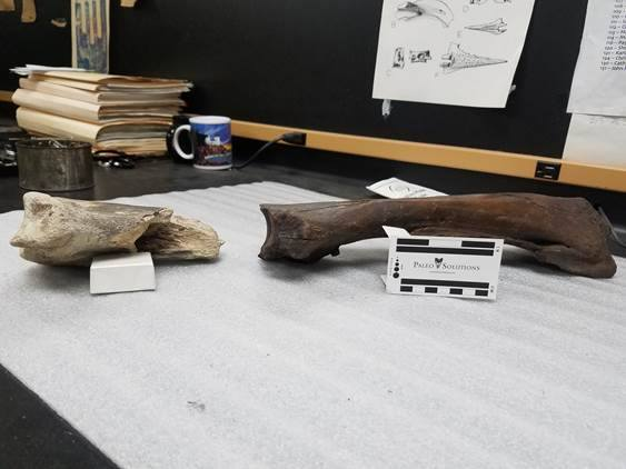 The bison bone found recently at left, a sample bison bone at right.