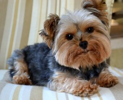Small Of How To Groom A Yorkie