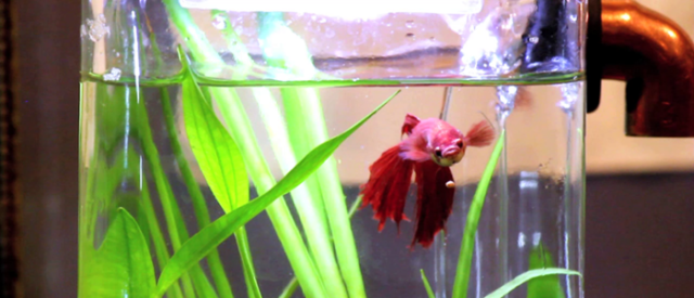 Betta Fish Care & Cleaning Tips
