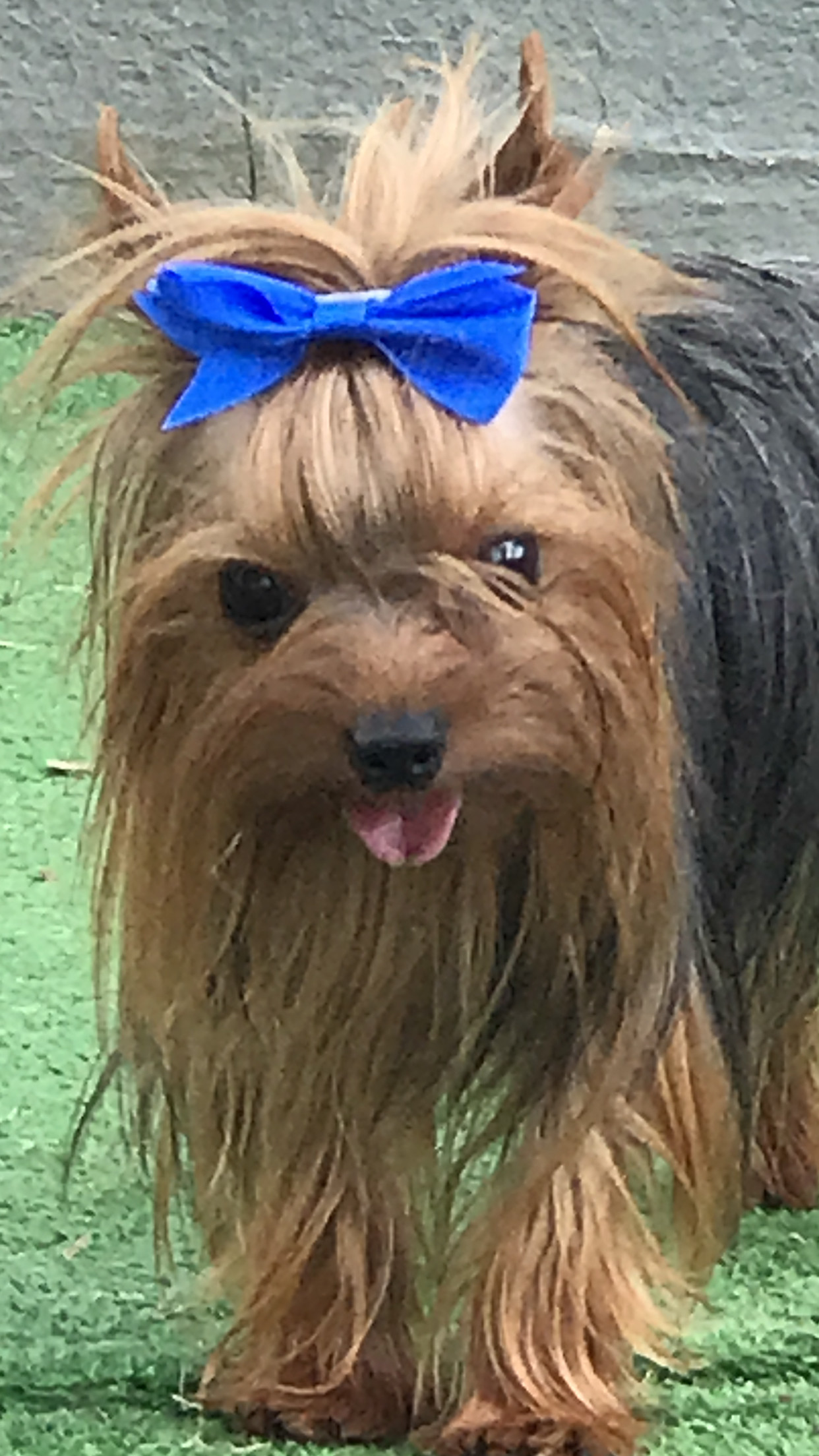 Staggering Adoption At Tri Yorkie Small Breed Image Pets Yorkie Pomeranian Mix Shed Yorkie Pomeranian Mix Dog bark post Yorkie Pomeranian Mix
