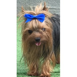 Small Crop Of Yorkie Pomeranian Mix