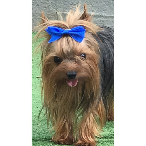 Medium Crop Of Yorkie Pomeranian Mix