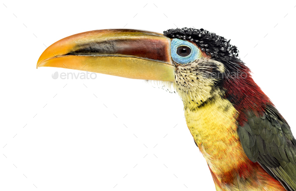 Close up of a Curl crested aracari  isolated on white Stock Photo by     Close up of a Curl crested aracari  isolated on white   Stock Photo