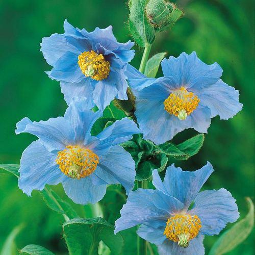 Medium Of Himalayan Blue Poppy