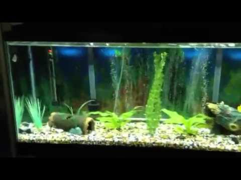 Oscar fish 55 gallon tank and my two other 55 gallon tanks | PopScreen