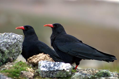 "A ""Chatter"" of choughs (R Hales)"