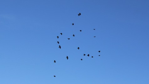 All twenty two choughs enjoying the skies above Jersey