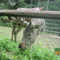 Not quite from Borneo, the zebra is just one of the out-of-town residents at the Lok Kawi Wildlife Park Zoo